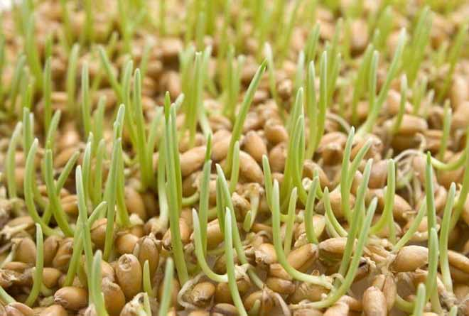pshenica - Правильное питание - ростки пшеницы