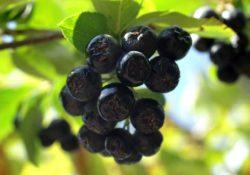 chernoplodnaya ryabina 250x175 - Чем полезны ягоды черноплодной рябины, как и где их собирать