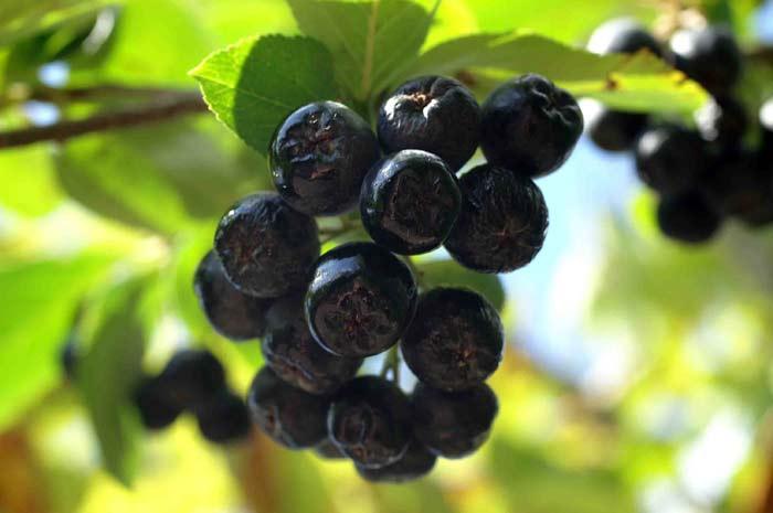 chernoplodnaya ryabina - Чем полезны ягоды черноплодной рябины, как и где их собирать